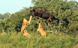24h qua ảnh: Linh dương đầu bò bay qua đầu sư tử đói
