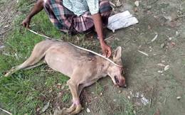 Dân làng đập chết sói hoang vì săn trộm gia súc, ngờ đâu là loài quý hiếm lần đầu xuất hiện sau hơn 70 năm