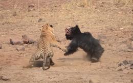 Cuộc chiến sinh tồn: Chúa sơn lâm ráo riết truy đuổi gấu đen