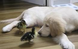 2 chú vịt may mắn ra đời dưới cái nắng của Sài Gòn và tình bạn đáng yêu với chú chó cùng nhà