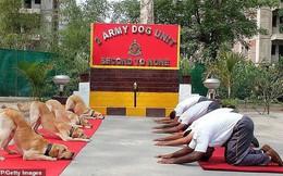 Những chú chó trong quân đội biểu diễn yoga gây sốt