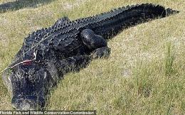Phát hiện nhiều mảnh thi thể người trong bụng cá sấu nặng hơn 200 kg
