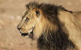 Sư tử săn nhím và hậu quả khôn lường cho con người