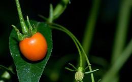 Nhà giàu mạnh tay chi tiền mua quả dại mọc hoang có giá hơn nửa tỷ đồng mỗi kg