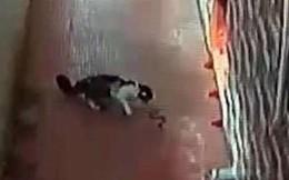 Hỗn chiến giữa mèo nhà với rắn hổ mang và cái kết bất ngờ
