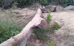 Đi mò ốc, nhóm người phát hiện cây gỗ quý cả trăm năm tuổi vùi dưới suối