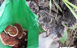 Theo chân người Ê Đê vào rừng 'săn' nấm quý ở Đắk Lắk