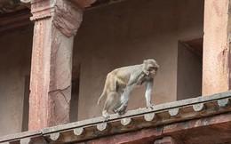 Khỉ 'xâm chiếm' tiểu bang của Ấn Độ khiến 2 người chết, giáo viên không dám đến trường dạy trẻ con
