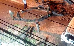 Cây sưa lớn giữa phố cổ Hà Nội bị chặt hạ trong đêm không rõ lý do