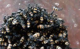 Thương lái lùng mua bọ có độc giá cao, chính quyền khuyến cáo người dân không nên bắt