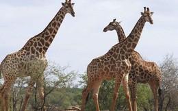 Dễ bắt gặp ở sở thú, nhưng hươu cao cổ lại bị vào danh sách nguy cơ... tuyệt chủng