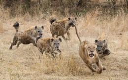 60 con linh cẩu bao vây, cướp miếng ăn của sư tử