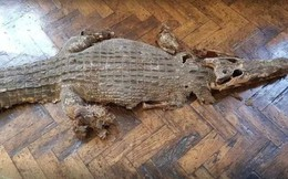 Đến sửa chữa trường học, nhóm thợ kinh hoàng phát hiện xác cá sấu chôn dưới sàn