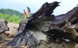 Người đi mò ốc được cả cây gỗ quý trăm tuổi mệt mỏi vì bị lập biên bản, chờ phương án xử lý