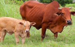 Đánh thế nào, con bê vẫn không nhúc nhích, biết sự thật, người đồ tể đã tha chết cho bò mẹ