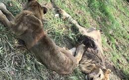 Hai con sư tử gầy trơ xương trong sở thú khiến nhiều người xót xa