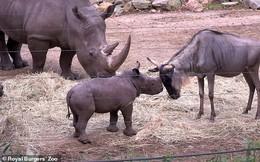 Cậy có mẹ bảo kê, tê giác con đi cà khịa đánh nhau với tất cả anh em động vật trong sở thú