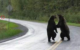 Gấu nâu đực hung dữ thách đấu nhau giữa đường để... đòi quyền giao phối