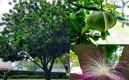 Ngắm bàng vuông Trường Sa nở hoa kết trái giữa lòng Sài Gòn