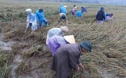 Hàng chục thanh niên tình nguyện ở Hà Tĩnh ra đồng giữa mưa gặt lúa, chạy lũ giúp dân