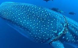 Video: Cận cảnh giải cứu cá mập voi khổng lồ bị dây thừng thắt cổ