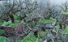 Dân làng Nhật Tân xây phòng riêng, lắp điều hòa cho đào bung nở đúng dịp Tết Nguyên đán