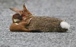 Chồn nhỏ bé hạ gục thỏ lớn gấp 4 lần