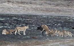10 con sư tử cùng nhau hành hạ trâu rừng