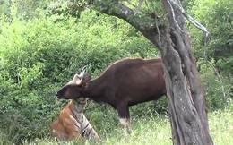 VIDEO: Hổ trổ tài săn bò tót cực kỳ điêu luyện
