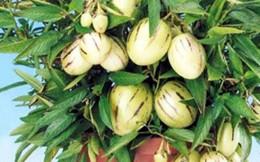 Người dân Đà Lạt đổ xô đặt mua hoa, quả độc lạ chơi Tết