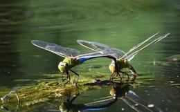 Loài chuồn chuồn cũng di cư nhưng hành trình ấy dài đến mức không thể tưởng tượng được