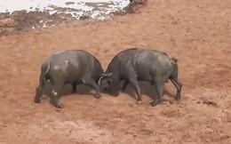 VIDEO: Màn húc nhau ác liệt giữa 2 con trâu rừng