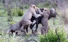 Cuộc chiến sống còn giữa trâu rừng với 4 con sử tử