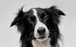Những giống chó thông minh nhất thế giới (phần 2)