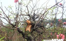 Hàng trăm cây đào bị phá hoại ở Bắc Ninh trước Tết: Một chủ vườn uống thuốc trừ sâu tự tử