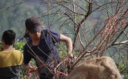 Ảnh: Tận diệt đào rừng phục vụ khách chơi Tết, bày bán la liệt bên quốc lộ