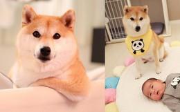Không chỉ khôn ngoan và dễ thương, chú chó shiba biết dỗ trẻ đang khiến Internet tan chảy vì ngọt ngào quá!