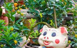 """Ngộ nghĩnh những cây quất cảnh """"mọc"""" trên lưng các chú con heo đất có giá hàng triệu đồng ở Hà Nội"""