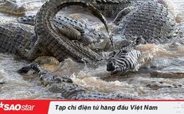 Đau lòng cảnh ngựa vằn bị 40 con cá sấu xé xác khi qua sông