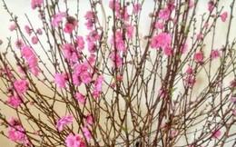 Cách chọn hoa đào, cắm cành đào và giữ cây đào tươi lâu trong ngày Tết