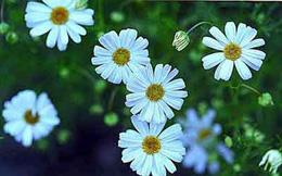 Chữa bệnh bằng hoa cúc ngày Tết