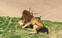 VIDEO: Màn giao chiến đẫm máu giữa 2 con sư tử