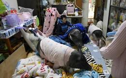 Kỳ lạ người phụ nữ độc thân bằng lòng hy sinh mọi thứ để nuôi 4 chú lợn, cho ở phòng ngủ lớn