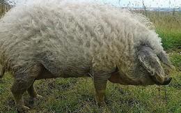 """Những kỷ lục """"khó đỡ"""" được ghi vào sách Guinness của họ nhà lợn mà đảm bảo rất ít người được nghe"""