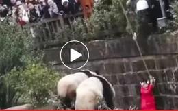 Video giải cứu bé gái rơi vào chuồng gấu trúc