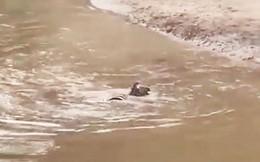 VIDEO: Mất cảnh giác, ngựa vằn bị cá sấu tóm gọn