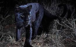Phát hiện báo đen siêu hiếm gặp trong vòng gần 1 thế kỉ ở Châu Phi