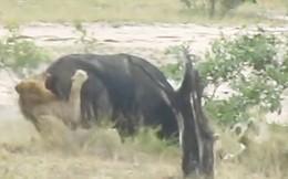 VIDEO: Trâu rừng tả xung hữu đột giữa vòng vây 2 của con sư tử