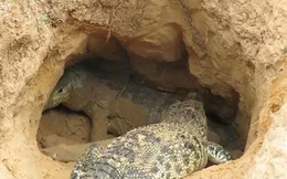 VIDEO: Màn giao chiến giữa cá sấu với rồng Komodo