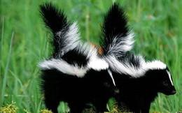 Top 10 loài động vật 'bốc mùi' nhất thế giới